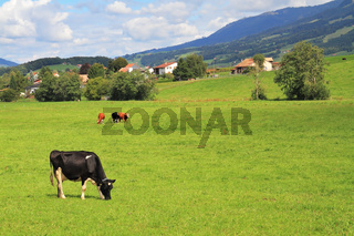 Green meadow  and grazing cows