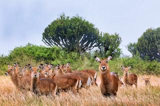 Defassa-Wasserbock im Queen Elizabeth Nationalpark Uganda (Kobus defassa) | Defassa waterbuck, Queen Elizabeth Nationalpark Uganda (Kobus defassa)