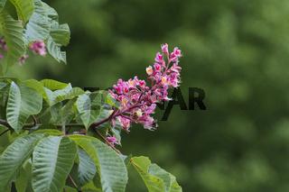 Rote Rosskastanie, Aesculus pavia