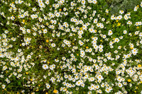 Texture Or Background Of Daisy Flower Meadow, Spring Season