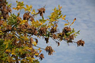 Fraxinus excelsior. Esche, Ash