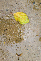 Single leaf in a puddle in autumn