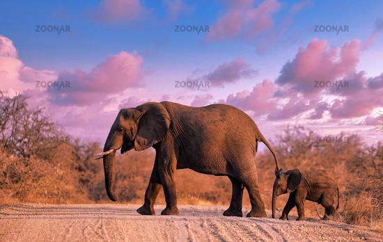 Elefantenmama mit Nachwuchs quert morgens die Straße im Kruger Nationalpark Südafrika; elephant and a baby crossing the street at Kruger NP, south africa