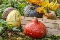 Kürbisse mit Korb im Garten, Pumkin and squashes with basket in garden