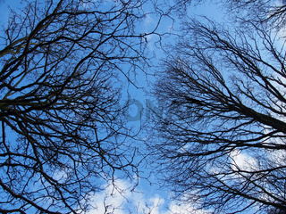 an upwards view of the branches of winter forest trees against a blue cloudy sky