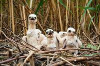 Curious western marsh harrier chicks waiting on nest hidden in reeds in wetland