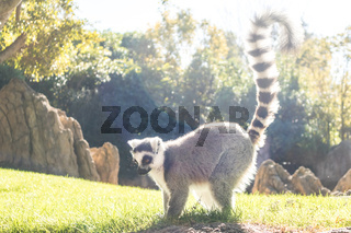 Ring tailed lemur on meadow illuminated by afternoon sun