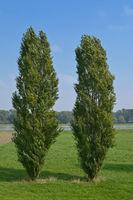 Populus Nigra italica.jpg