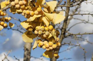 Ginkgo biloba, Ginkgobaum, Maidenhair tree