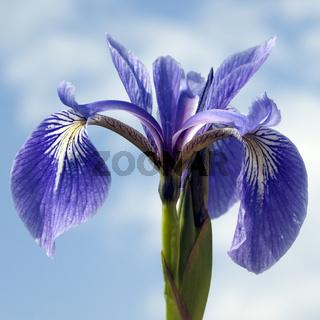 Sumpfiris, Iris, versicolor, Blaue Sumpf-Schwertlilie,