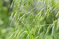 wild oat grass