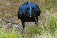 Thick-billed raven bird on the grass, Simien mountains