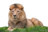Portrait Löwe vor weißem Hintergrund
