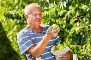 Alter Mann beim Ernten am Apfelbaum