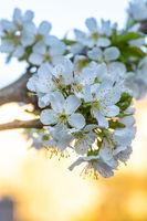 Weisse Kirschblüten im Frühlingsgarten