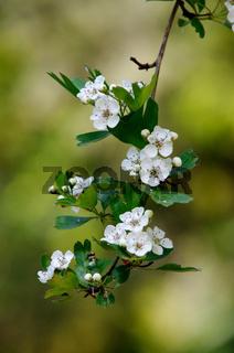 Blüten eines blühenden Weißdornstrauchs