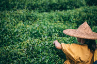 Woman wearing traditional chinese Asian hat collecting tea on a plantation