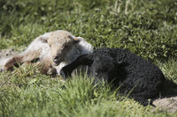 Zackelschaf, Ovis aries strepsiceros Hungaricus, Ragged sheep