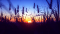 Colorful Sunset with closeup Wheat
