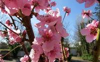 Nektarinen Blüte - nectarine