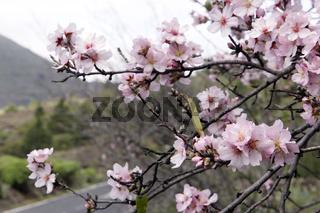 blühender Mandelbaum (Prunus dulcis)