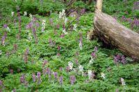 Waldboden mit Lärchensporn