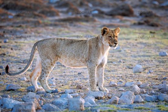 Junger Löwe, Etosha-Nationalpark, Namibia, (Panthera leo)   young lion, Etosha National Park, Namibia, (Panthera leo)