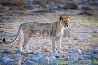 Junger Löwe, Etosha-Nationalpark, Namibia, (Panthera leo) | young lion, Etosha National Park, Namibia, (Panthera leo)