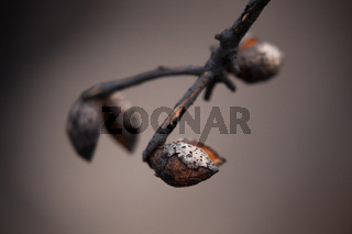 Seed pod opens after bush fires