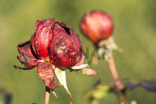 Rote Gartenrose im Januar - Vergänglichkeit