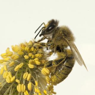 Weidenkaetzchen; Biene; Pollenhoeschen;