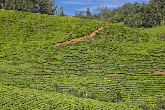 Tee-Plantage in Süd-Uganda   Tea plantation in Southern Uganda