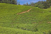 Tee-Plantage in Süd-Uganda | Tea plantation in Southern Uganda
