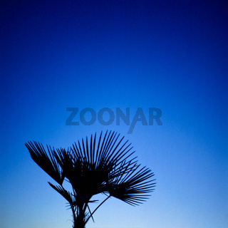Silhouette of a palm tree and blue sky at blue hour background. Shot on analog medium format film