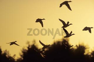 Stockenten fliegen zum Schlafplatz im Abendlicht - (Maerzente) / Mallards flying in evening light - (Wild Duck) / Anas platyrhynchos