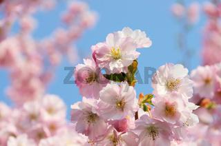 Kirschblüte rosa - cherry blossom 45