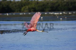 Roseate Spoonbill (Platalea ajaja) flying