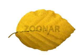 Buchenblatt, Faerbung, Fagus, sylvatica, Herbstfaerbung,