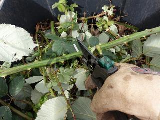 invasive Armenische Brombeere, Gartenbrombeere (Rubus armeniacus)