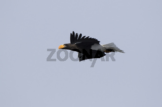 adult Stellers sea eagle flying past on a winter day