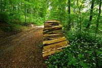 Baerlauch im Laubwald vor einem Holzstapel am Wegesrand