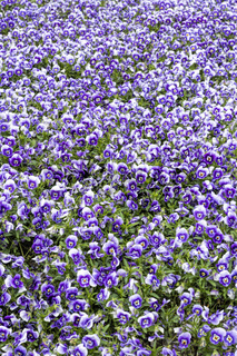 Horned violet flowers as background