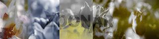 tulpen gefärbt collage trauer sepia panorama