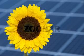 sun flower and solar panel
