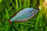 Dwarf rainbowfish Melanotaenia praecox in freshwater aquarium