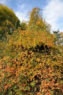 Smilax aspera, Raue Stechwinde, Rough bindweed