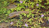 Nilwaran im Murchison Falls Nationalpark Uganda (Varanus niloticus) | Nile monitor, Murchison Falls National Park Uganda (Varanus niloticus)