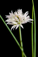 White chive blossom with green stems parallel