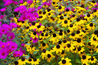 Sonnenhut und Astern - black-eyed Susan and aster 01