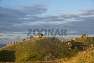 Schafe (Ovis) im Abendlicht, Helgoland